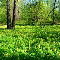 Цветущий лес (май 2015) :: Милешкин Владимир Алексеевич