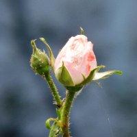 Бутон розы :: Ольга Иргит