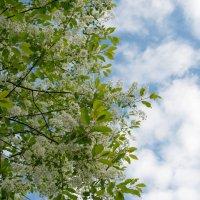 Цветущее майское небо. :: Лилия Гудкова
