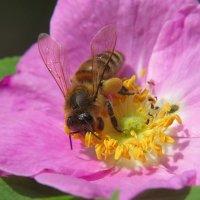 Пчела на шиповнике :: Александр Смирнов