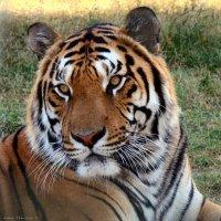 КОТЯ ( портрет тигра ) :: Николай Ярёменко
