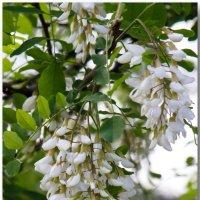 Белой акации гроздья душистые... :: Елена Миронова