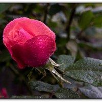 роза :: Sergey Bagach