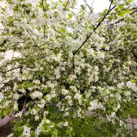 Яблоня в цвету :: Владимир Левый