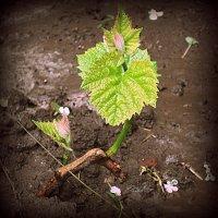 Про виноград :: Геннадий Храмцов