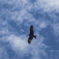 Коршун по небу летает, самолеты разгоняет :: Сергей Шаврин