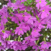 Розовые цветы :: Вера Щукина