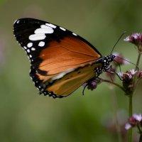 Бабочка :: Ольга Гурьянова