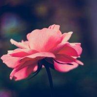 Роза :: Дмитрий Комлев