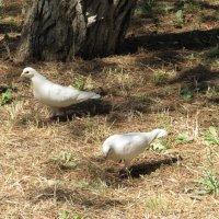 Белые голуби :: Вера Щукина