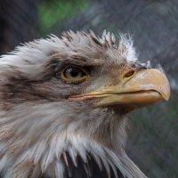 Орлан белоголовый :: Борис