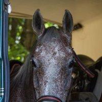 Морда лошади анфас :: Николай Ефремов