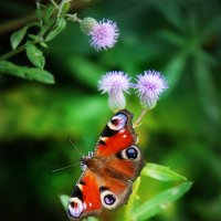 бабочка :: Татьяна Петровна