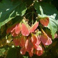 Удивительное дерево - ясень :: Нина Корешкова