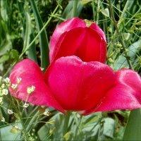Полураскрытые губки тюльпана... :: Нина Корешкова