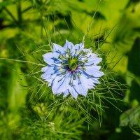 Голубой цветок :: Николай Николенко