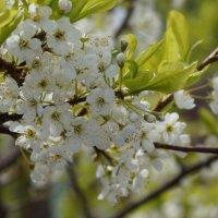 Цветение вишни :: Кирилл Фигура