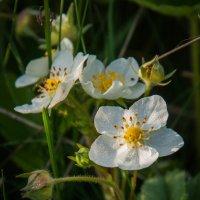 Нежное цветение :: Лилия Левицкая