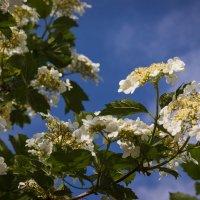"""""""Ой, цветет калина..."""" :: Надежда"""