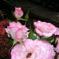 Розовая красотка :: svetlanavoskresenskaia