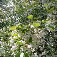 Яблоня в цвету :: Алексей Масалов