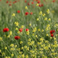 Цветочное поле :: Яна Горбунова