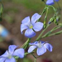 цветы нежного оттенка :: сергей