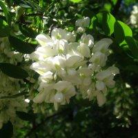 Белой акации гроздья душистые :: Елена Семигина