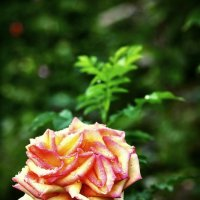 Роза печали. :: ОЛЕГ ПАНКОВ