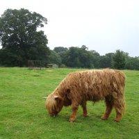 Шотландская коровка :: svk