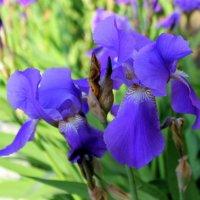 Ирисов лёгкие цветы, как дым давно забытых снов.. . :: Валентина ツ ღ✿ღ
