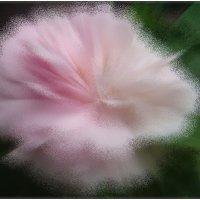 Чайная роза в  последний день весны :: Нина Корешкова