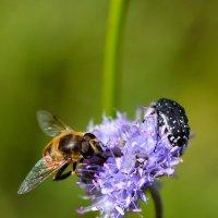 Пчёлка и жучок :: Елена Ушакова