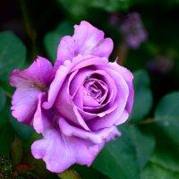Немного о розах... :: Михаил Болдырев