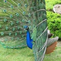 В Вальдштейнском саду. Танец павлина :: Елена Павлова (Смолова)