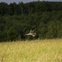 Сова на охоте :: Николай В