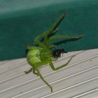 зелёненький, восьмиглазенький... :: Натали Акшинцева