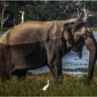 Молодой красавец слон...сафари на Шри-Ланке: Национальный парк Яла... :: Александр Вивчарик