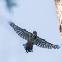 Подлетая к гнезду дятла :: Тимофей Черепанов