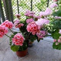 Сад Пеларгоний на балконе :: Tata Wolf