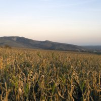 Кукурузное поле :: Роман Домнин