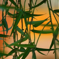Листья бамбука. :: юрий