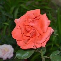 Роза :: zhanna-zakutnaya З.