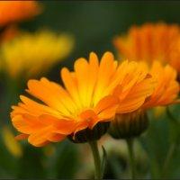 Цветочек аленький :: Наталия Григорьева