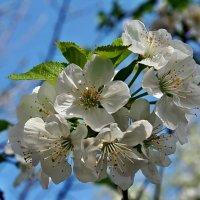Один раз в год сады цветут - для Владимира Железнова :: Александр Резуненко