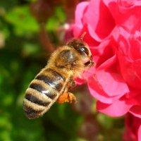 Пчелка к розе подлетела...! :: Наталья