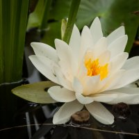 water lily :: Katerina Tighineanu