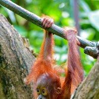 Ну не птица я, а орангутанг... только маленький.. :: Виктор Льготин