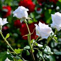 Букет белых роз :: Анатолий Чикчирный
