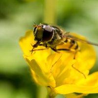 собирание нектара :: Alex Bush